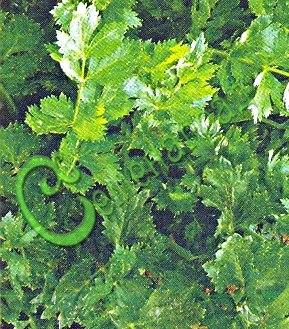 """Семена Любисток """"Удалец"""" - 30 семян, многолетник, пряность, ценится за вкус и лечебно-стимулирующие свойства"""