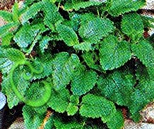 Семена мелиссы Мелисса лимонная - многолетник, в рекомендациях не нуждается. Семенаград - семена почтой