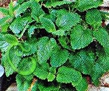 Семена мелиссы Мелисса лимонная, 1 уп.-30 семян - многолетник, в рекомендациях не нуждается. Семенаград - семена почтой