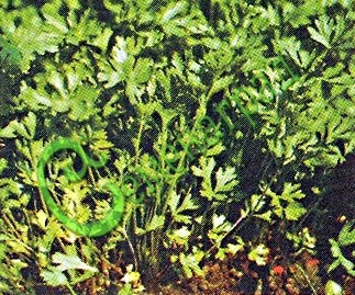 Семена петрушки Петрушка «Урожайная», 1 уп.-1/2 чайн. ложки - двухлетняя культура, скороспелый, урожайный сорт, мощная шапка ярко-зеленых листьев. Семенаград - семена почтой