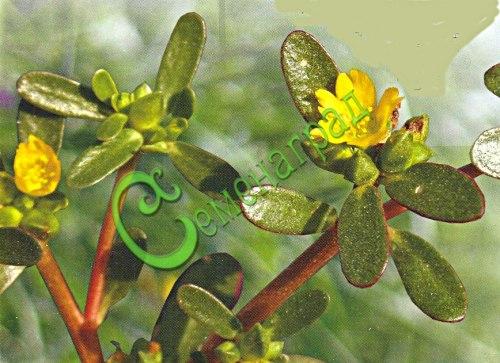 Семена портулака Портулак овощной - 1 уп.-20 семян - сравнительно новое овощное растение, имеет слабокислый свежий вкус, мелко порезанный используется в свежих летних салатах, в соусах, чаще с помидорами и огурцами, содержит витамины и омега-3 жирные кислоты, понижающие уровень вредного холестерина. Семенаград - семена почтой