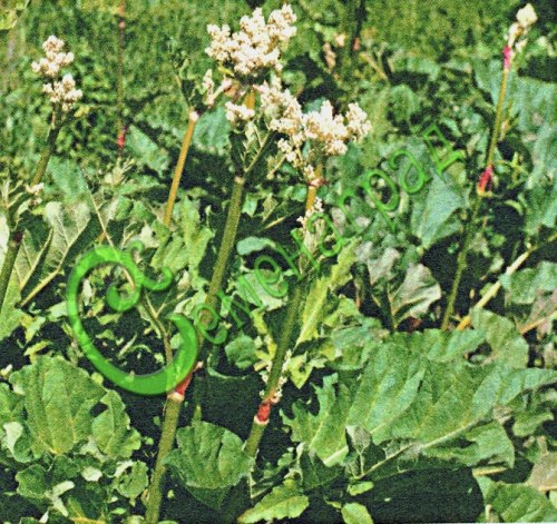 Семена Ревень «Огрский» - 10 семян - скороспелый, многолетник, созревает в начале мая, имеет широкое применение в кулинарии