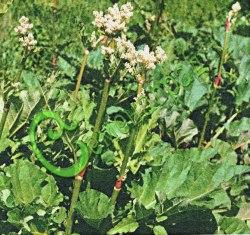 Семена ревеня Ревень «Огрский», 1 уп.-10 семян - скороспелый сорт, многолетнее растение, созревает в начале мая. Из ревеня готовят супы, салаты, кисели, компоты, начинки для пирогов. Семенаград - семена почтой
