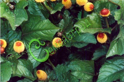Семена Спилантес или Масляный кресс - 50 семян, однолетник, применяется в салатах, как пряность, как лекарственное и как цветы