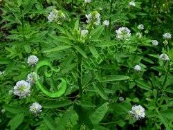 Семена тригонеллы Тригонелла, 1 уп.-30 семян - пажитник голубой, грибная трава - однолетнее травянистое растение, в пищу употребляют молодые листья, сухую траву и семена с восхитительным грибным привкусом. Семенаград - семена почтой