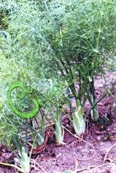 Семена фенхеля Фенхель, 1 уп.-15 семян - ценная многолетняя зеленая культура, достигает высоты 1,5 м, ароматен как анис, по виду - как укроп. Идет в салаты и соления, возбуждает аппетит, улучшает пищеварение. Семенаград - семена почтой