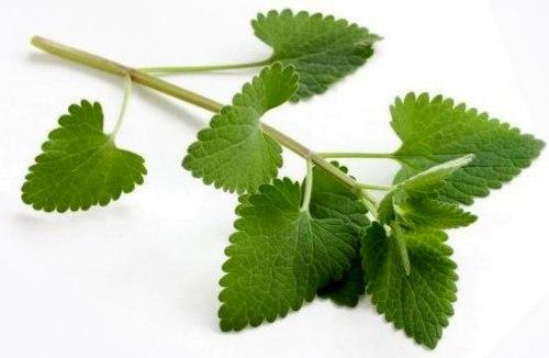 Семена Шандра душистая (Эсголеция Пэтрона) - 30 семян, довольно редкое пряновкусовое растение со своим неповторимым ароматом