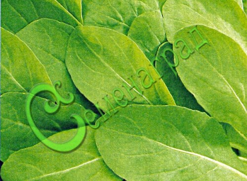 Семена Шпинат исполинский - 20 семян, листья богаты белковыми веществами, витаминами, микроэлементами и аминокислотами