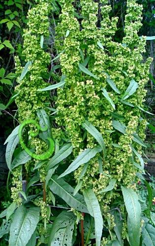 Семена шпината Утеуш Шпинат «Утеуш» или шпинатный щавель - 1 уп.-30 семян, получен от скрещивания шпината английского и щавеля тянь-шаньского - очень ранний, многолетний шпинат-великан (до 2 м), сладкий с кислинкой, морозостойкий. Семенаград - семена почтой