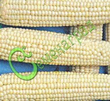 Семена кукурузы Кукуруза сахарная «Беби» - 1 уп.-5 семян, выведена в Китае - компактные кусты, початки до 20 см с чисто белыми зёрнами, скороспелый, сладкий сорт, лакомство для детей. Семенаград - семена почтой