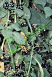 Семена паслёна Садовый паслен «Санберри» (общий вид) - в переводе «Солнечная ягода». Как небольшое деревце высотой до 1 м. Очень урожайный. В свежем виде вкус посредственный. Но как начинка для пирога он непревзойден. Некоторые садоводы ставят пирог с «Санберри» на l-е место, даже выше пирога с черешней. Хорош и в варенье с добавлением лимона. Выращивают рассадой. Семена сеют после томатов. Семенаград - семена почтой