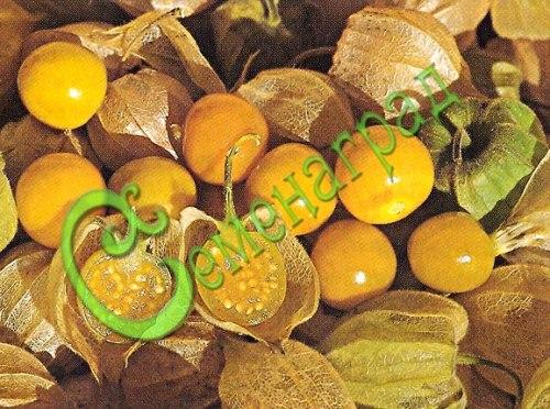 Семена почтой Физалис «Земляничный» - 30 семян, ягода до 20 г, сладкая с земляничным ароматом, оторваться от куста невозможно