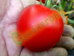 Семена томатов Ямал, 1 уп.-20 семян - низкорослый, ранний, до 100 г, очень хорош. Семенаград - семена почтой
