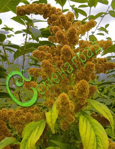 Семена амаранта Амарант метельчатый «Гулливер», 1 уп.-30 семян - золотистая форма, высокопитательное растение высотой до 4 м. Урожай зелёной массы с 1 сотки до 2 тонн, зерна до 30 кг. Значительно повышает жирность и количество молока, выход молодняка от маток, даёт мех отличного качества. Отличный сухоцвет. Семенаград - семена почтой