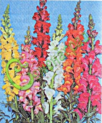 Семена антирринума Антирринум большой (львиный зев) (смесь окрасок) - 1 уп.-30 семян - красивые, кистевидные соцветия. Семенаград - семена почтой