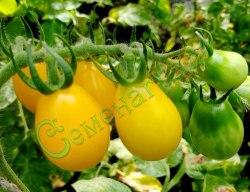 Семена томатов Янтарная капля - высокорослый, среднеранний, высокохолодостойкий, 20-30 г, урожайный, самый лежкий. Семенаград - семена почтой