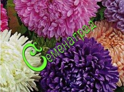 Семена Астра «Королевский размер» смесь окрасок - 30 семян - высота 100 см