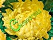 "Семена Астра низкорослая ""Жёлтый ковёр"" - 30 семян - высота до 30 см"