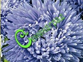 Семена Астра хризантемовидная «Аполлония Блю» - 30 семян - высота 65 см