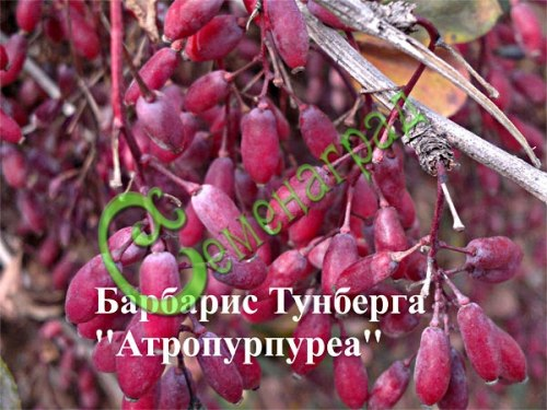 Семена барбариса Барбарис Тунберга «Атропурпуреа» - 1 уп.-20 семян - кустарник высотой и диаметром кроны 1,5-2 м. Листья округлые, пурпурно-красные. Цветение в мае, цветки желто-красные, диаметром до 1 см, собраны в кистевидные соцветия. Плоды ярко-красные, блестящие, размером до 1 см, съедобные, созревают в сентябре-октябре. К почвам нетребователен, морозостоек, засухоустойчив. Семенаград - семена почтой