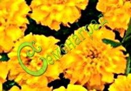 """Семена Бархатцы отклонённые """"Джипси Саншайн"""" - 30 семян - махровые, насыщенно-жёлтые соцветия, высота до 25-30 см"""