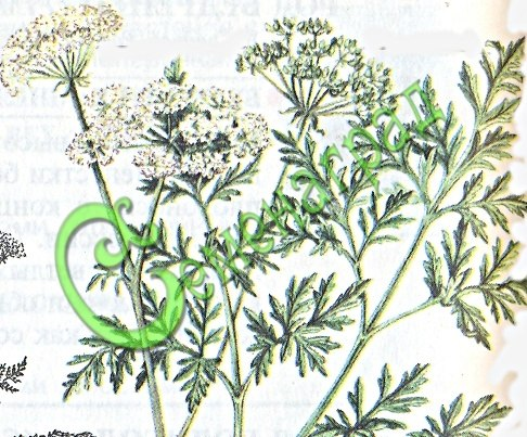 Семена болиголова Болиголов пятнистый, 1 уп.-30 семян - лекарственное растение, ядовито, высотой 90-200 см, не перепутать с петрушкой! Семенаград - семена почтой