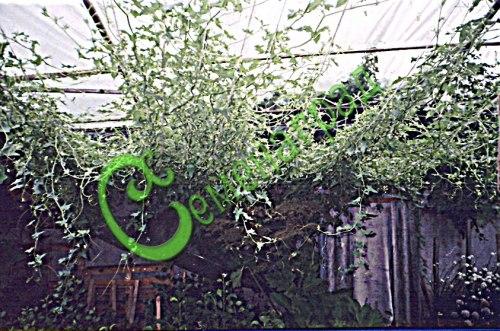 Семена брионии Бриония белая (переступень белый) (общий вид) - лазящее, многолетнее растение, быстро развивает густую сочную зелень и закрывает пространство 3-5 м в высоту и почти столько же в ширину. Используется для декорирования веранд, стен и специальных конструкций, многолетник, надземная часть на зиму отмирает, семена сажать под зиму или стратифицировать 2 месяца, лекарственное растение, ягоды брионии несъедобны. Семенаград - семена почтой