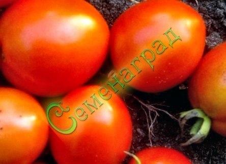 Семена томатов Анжелика (20 семян - ранний, 120 г, очень урожайный, среднерослый)