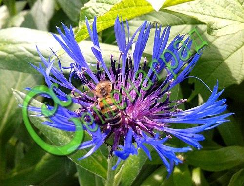 Семена горного василька Василёк горный - 1 уп.-10 семян - многолетник высотой 80 см, цветки крупные, фиолетовые, морозостоек. Семенаград - семена почтой