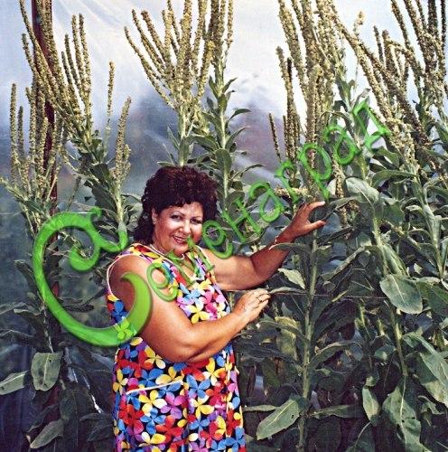 Семена вербаскума Вербаскум скипетровидный - величественный двухлетник высотой до 2 м, очень декоративен крупными бархатистыми листьями. Семенаград - семена почтой