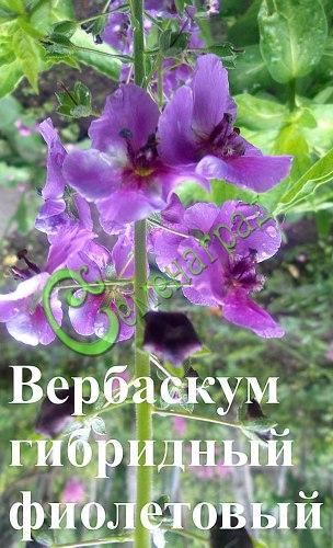 Семена вербаскума Вербаскум гибридный, смесь расцветок - 1 уп.-30 семян - неприхотливый оригинальный многолетник до 1 м высотой. Семенаград - семена почтой