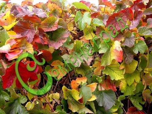 Семена винограда Виноград амурский, 1 уп.-10 семян - съедобен, очень морозостоек (-35 С), для живых беседок, в конце лета окраской листьев преподносит всю палитру осени, украшение сада, семена сажать под зиму или стратифицировать 3 месяца. Семенаград - семена почтой