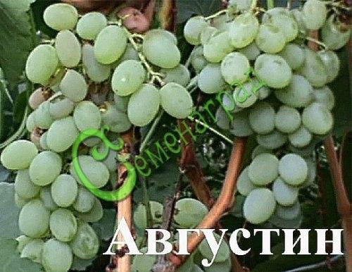 Семена Виноград «Августин» - 10 семян - очень ранний и морозостойкий, ягода белая, сладкая