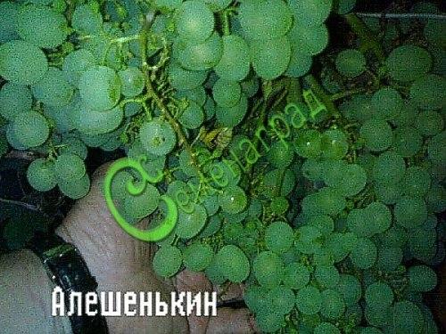 Семена винограда Виногра «Алёшенькин» - очень ранний столовый сорт для средней полосы, ягода белая. Семенаград - семена почтой