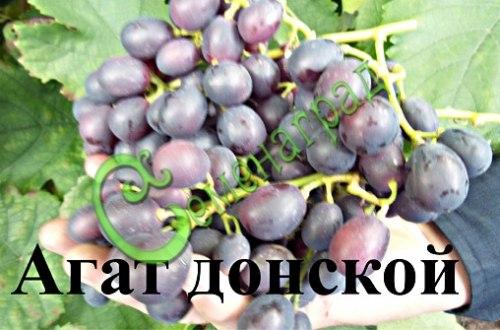 Семена винограда Виноград «Агат донской» - 1 уп.-10 семян - ранний и морозостойкий, ягода синяя, сладкая, столовый сорт. Семенаград - семена почтой
