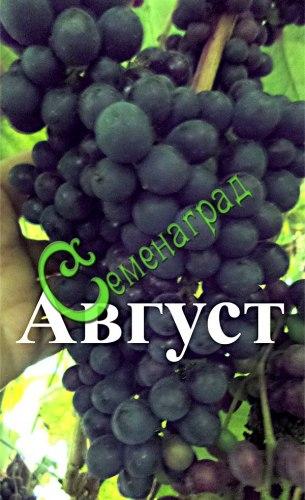 """Семена Виноград амурский """"Август"""" - 10 семян, очень ранний и морозостойкий, ягода тёмно-синяя, сладкая, винный сорт"""
