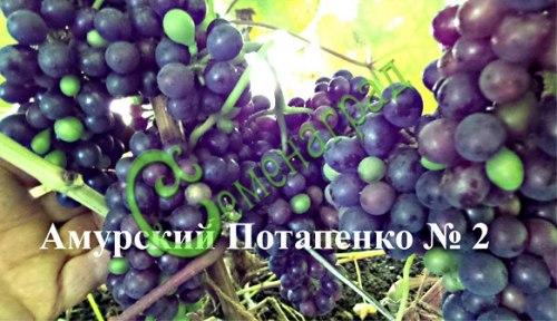 Семена Виноград амурский «Амурский Потапенко № 2» - 10 семян, ранний, морозостойкий, ягода сладкая, тёмно-синяя, винный сорт