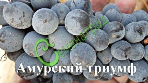 Семена винограда Виноград амурский «Амурский триумф» - 1 уп.-10 семян - ранний, морозостойкий, ягода сладкая, тёмно-синяя, одно из последних достижений Потапенко. Семенаград - семена почтой