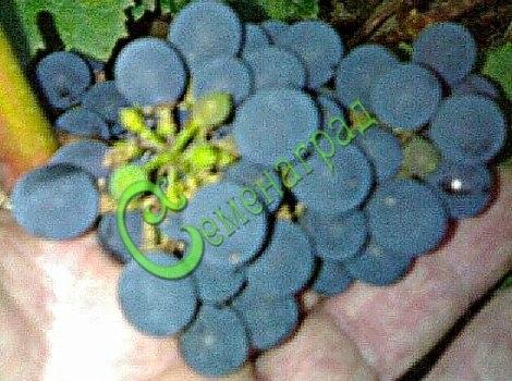Семена винограда Виноград амурский «Башкирский сладкий» - 1 уп.-10 семян - очень ранний и морозостойкий (-35 С), устойчивый, ягода тёмно-синяя, сладкая, семена стратифицировать или сажать под зиму, как и все сорта. Семенаград - семена почтой