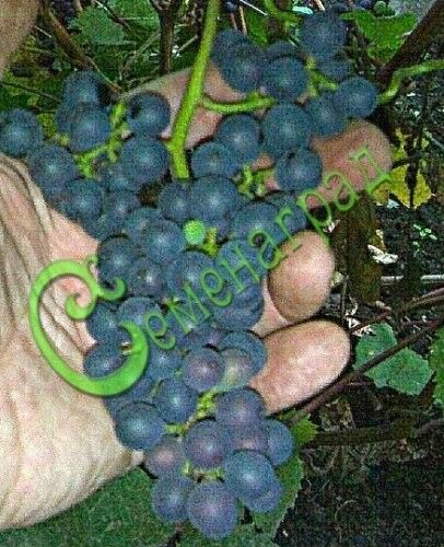 Семена Виноград амурский «Брускам» - 10 семян - ранний, морозостойкий, ягода сладкая, тёмно-синяя, винный сорт