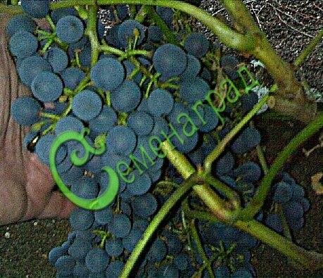 Семена винограда Виноград амурский «Герой Сталинграда» - ранний, морозостойкий (-35 С), сладкий, тёмно-синий, винный сорт. Семенаград - семена почтой