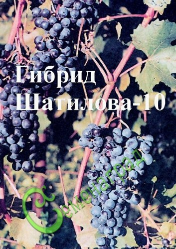 Семена Виноград амурский «Гибрид Шатилова-10» - 10 семян, очень ранний, морозостойкий, ягода тёмно-синяя, сладкая, винный сорт