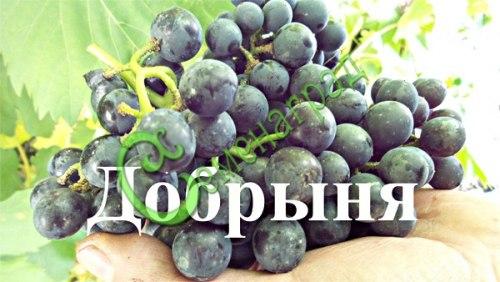 Семена винограда Виноград амурский «Добрыня» - 1 уп.-10 семян - ранний, морозостойкий (-35 С), ягода сладкая, тёмно-синяя, винный сорт. Семенаград - семена почтой