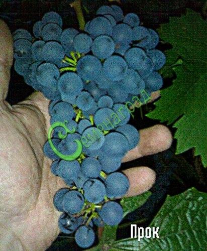Семена винограда Виноград амурский «Прок» - 1 уп.-10 семян - очень ранний, морозостойкий, ягода сладкая, тёмно-синяя, винный сорт. Семенаград - семена почтой