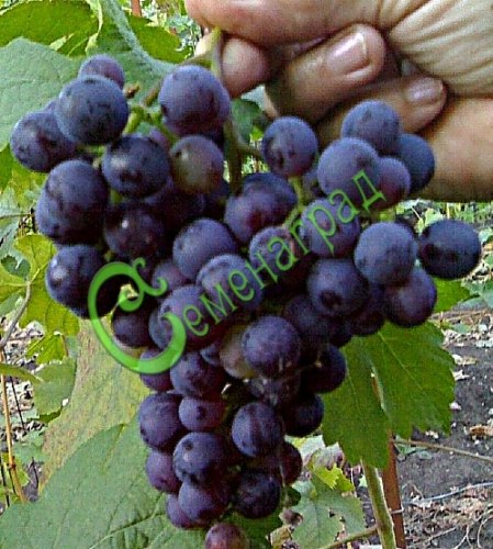 Семена Виноград амурский «Северный плечистик» - 10 семян, ранний, морозостойкий, ягода сладкая, тёмно-синяя, винный сорт