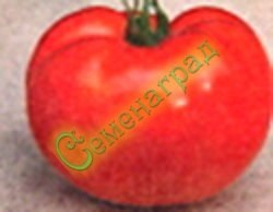 Семена томатов Белый налив (20 семян - среднерослый, ранний, до 200 г)