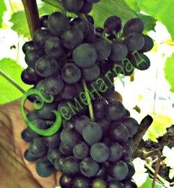 Семена винограда Виноград амурский «Цимлянский» - 1 уп.-10 семян - ранний, морозостойкий, ягода сладкая, тёмно-синяя, винный сорт. Семенаград - семена почтой