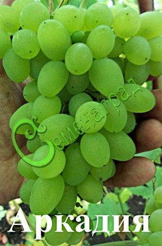 Семена винограда Виноград «Аркадия» - 1 уп.-10 семян - очень ранний и морозостойкий, ягода белая, столовый сорт. Семенаград - семена почтой