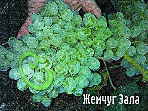 Семена винограда Виноград «Жемчуг Зала» - очень ранний, морозостойкий, проверенный годами столовый сорт, ягода зеленовато-белая, к болезням невосприимчив. Семенаград - семена почтой