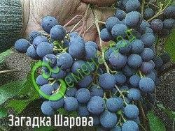 Семена винограда Виноград «Загадка Шарова» - 1 уп.-10 семян - очень морозостойкий (-35 С) и ранний виноград сибирской селекции, ягода темно-синяя, вкус сладкий, гармоничный, ягоды долго висят на кустах, не повреждаясь, семена стратифицировать или сажать под зиму, как и все сорта. Семенаград - семена почтой